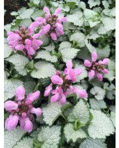 Poppy Parcels Buy Premium Irish Perennial Plants Online, Delivered Nationwide. Poppy Parcels Online Garden Centre Garden Centre, Agapanthus, Plants Online, Garden Plants, Perennials, Poppy, Irish, Flowers, Irish People