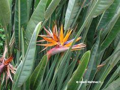 Ave de paraíso, Flor de pájaro, Estrelitzia, Estrelicia ( Strelitzia reginae)