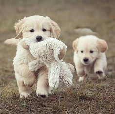 Anyone want to play??? I've got my teddy with me incase I get sleepy! Or if my little sister who's behind me needs a comforter...im just a playfully puppy who's lo ING and caring!!!
