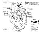 Blood pathways through heart - coloring sheet Science Classroom, Teaching Science, Heart Circulation, Heart Diagram, Heart Institute, Kids Gym, Human Body Anatomy, Warrior Girl, Online Coloring