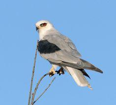 White-tailed Kite | photo