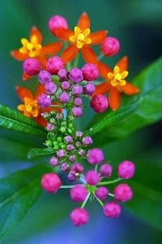 Milkweed Jan Paramski via Jan Paramski onto :::::::Nature ( no animals )::::::: Exotic Flowers, Amazing Flowers, My Flower, Beautiful Flowers, Unique Flowers, Tiny Flowers, Orange Flowers, Spring Flowers, Deco Floral