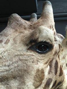 Detail of a hugh shoulder mount of a Giraffe.