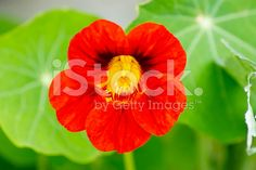 A close-up of a Nasturtium flower, an annual and perennial herbaceous. Royalty Free Images, Royalty Free Stock Photos, Flower Photos, Image Now, Perennials, Rose, Flowers, Plants, Photography