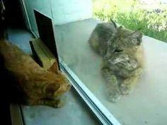 Indoor cat and bobcat 4