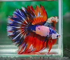 #2. Betta fish can have intense, vibrant colors along with intense personalities.