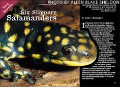 Salamander lesson for school