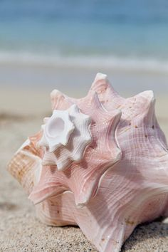 Conch Shell - Summer pink on the beach Shell Beach, Ocean Beach, Pink Beach, Waves, Am Meer, Pink Summer, Summer Beach, Ocean Life, Marine Life