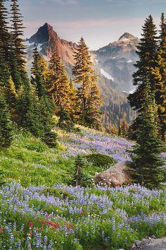 Rainier National Park . Washington