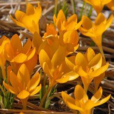 Crocus ancyrensis 'Golden Bunch' ist ein glodgelber Frühlingsbote für den Garten. <3 Krokusse. Gepinnt von www.fluwel.de, Onlineshop für Blumenzwiebeln