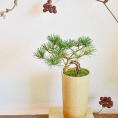 . 五葉松の盆栽 水引を結び、お正月飾りとしても楽しめます . #五葉松 #縁起物 #盆栽 #bonsai #mossgreenikkei #Kitowa #樹と環 #名古屋 #千種