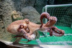 http://www.arabianbusiness.com/incoming/article559079.ece/ALTERNATES/g3l/Giant-Octopus-Dubai-Aquarium-Underwater-Zoo.jpg