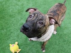 TO BE DESTROYED 01/25/18: 10 MO. OLD PUPPY!!  Playful and affectionate, brindlicious Ferdinand is ready to go go go. He's sleek and gorgeous in his gleaming coat, tail wagging in friendship to all, and wanting to meet everyone we pass on our walk. He seems to be housetrained, is puppy zig zaggy on leash, and sometimes startles at loud noises on the street as trucks go by on busy First Avenue. It's off leash in the yard where both his super playful and very affectionate...