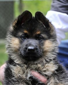 German Shepherd puppy.....