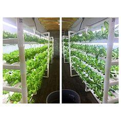 Our two main varieties green lollo and romaine sharing a pod. #atlantagrown #georgiagrown #urbanfarm #USAmade #localjobs #local#lettucebuylocal #hydro #hydroponic #salad #lettuce #nature#foodtech #urbanag #urbanfarming #startup #locavore #localfood #localproduce #gogreen #podponics #ATL#green #economy #urbandevelopment by lettucebuylocal