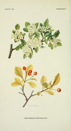 Small-fruited Haw. Plate from 'Addisonia' ( Vol 4) published by The New York Botanical Garden (1919). Illustration by Mary E. Eaton. The LuEsther T Mertz Library, the New York Botanical Gardenarchive.org