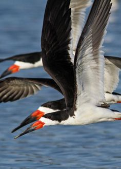 Rynchops niger; Black Skimmer.  A favorite!  Synchronized, stealth and most beautiful flocks skimming over these Gulf waters!