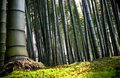 Arashiyama, a bamboo forest in Kyoto, Japan. Photo by: unknown- Most Beautiful Forests in The World