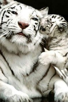 White Siberian Tiger with Baby Tiger Cub Animal Print Poster 24X36 (61X91.5cm)