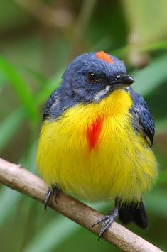 A Male Crimson-breasted Flowerpecker (Prionochilus percussus ignicapilla) - Malaysia