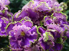 Фиалка ЛЕ-Фуксиевое Кружево. Цветок: Крупные махровые ярко-фуксиевые, с местами проступающим розовым оттенком  звезды, обрамленные сильно гофрированной зеленой бахромой. Розетка: Темная, слегка волнистая листва. Стандартная розетка.