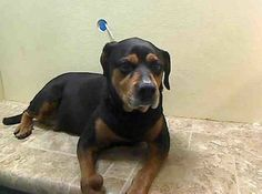 TO BE DESTROYED SAT, 2/8/14-  Brooklyn Center  MUSH - A0990932 I am an unaltered female, black and brown Rottweiler mix. The shelter staff think I am about 9 years old. I weigh 91 pounds. I was found in NY 11236. I have been at the shelter since Feb 03, 2014 https://www.facebook.com/photo.php?fbid=752202301459318&set=a.617942388218644.1073741870.152876678058553&type=3&theater