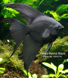 ·´¯`Solid black veiltail angelfish. (They say it's a hybrid but I doubt that it is the product of two species. They probably mean fancy variety. Tropical Freshwater Fish, Tropical Fish Aquarium, Freshwater Aquarium Fish, Saltwater Aquarium, Guppy, Salt Water Fish, Pet Fish, Water Animals, Aquariums