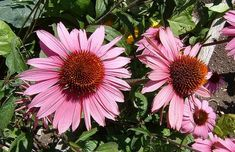 How to Grow Echinacea purpurea (Eastern Purple Coneflower) in your Garden. Advice is given on sowing, care and maintenance, propagation, and herbal use of Echinacea Plants. Garden Border Plants, Garden Borders, Sun Loving Plants, Hardy Perennials, Wild Flowers, Beautiful Flowers, Herbalism, Bloom, Purple