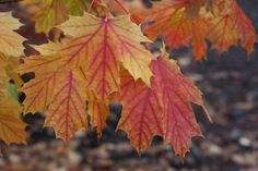 Acer platanoides 'Princeton Gold' in fall