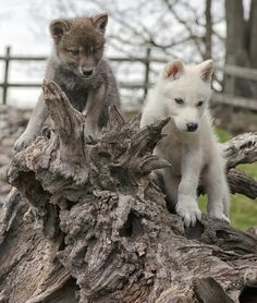 Cute wolf pups! - SAVE THE WOLVES