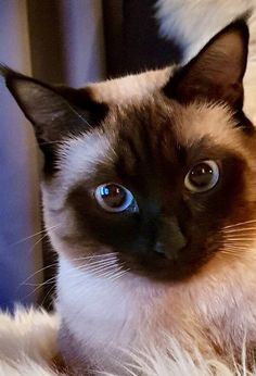 Siamese Cat Gallery - Cat's Nine Lives Siamese Kittens, Kittens Cutest, Cats And Kittens, I Love Cats, Crazy Cats, Cool Cats, Beautiful Cats, Animals Beautiful, Cute Animals