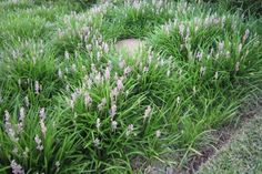 Liriope muscari 'Isabella' to garden bed adjacent to driveway, front garden, adjacent to pool and rear garden Plants With Pink Flowers, Cascading Flowers, White Flowers, Landscape Elements, Landscape Materials, Facts About Plants, Liriope Muscari, Boxwood Landscaping, Coastal Landscaping