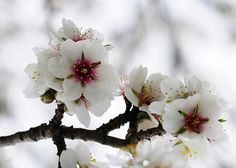 Almond Blossoms-the words written as branches