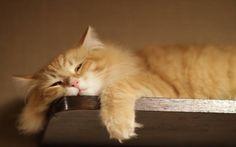 рыжий пушистый кот - Поиск в Google