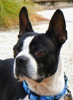 Meet GIGI, a Petfinder adoptable Boston Terrier Dog | Alexandria, VA | CONTACT INFO FOR THIS DOG............Susie CobbBoston Terrier Rescue of ...