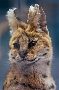 Leptailurus Serval (wild cat), a medium-sized African wild cat. DNA studies have shown that the serval is closely related to the African golden cat and the caracal. Animals And Pets, Baby Animals, Funny Animals, Cute Animals, Wild Animals, Gato Serval, Caracal, Beautiful Cats, Animals Beautiful