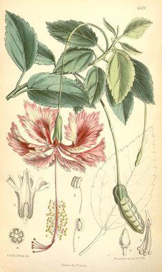 v.106 [ser.3:v.36] (1880) - Curtis's botanical magazine. - Biodiversity Heritage Library