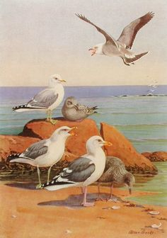 1930s California Seagull, Bird Print