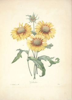 gravures de fleurs par Redoute - Gravures de fleurs par Redoute 055 galardia…