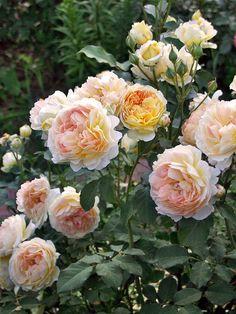 'Molineux'   Shrub. English Rose Collection. David C. H. Austin, 1994   @ Oliver