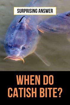 Catfish Rigs, Catfish Fishing, Salmon Fishing, Carp Fishing, Freshwater Aquarium, Aquarium Fish, Fishing Life, Fishing Stuff