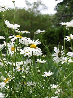 Daises, the friendliest flowers.