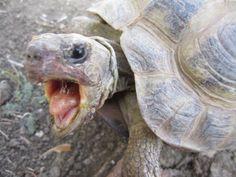 7 Best Sideneck Turtle images in 2019   Turtle, Tortoises
