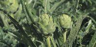 How to Grow Globe Artichoke | eHow