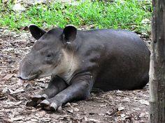 Belize Zoo April the Tapir by furtwangl, via Flickr