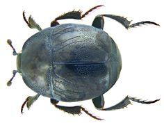 Family: Histeridae Size: 3.5 to 5.5 mm Origin: Europe Ecology: especially on carrion Location: Germany, Bavaria, Upper Franconia, Kulmbach leg.det. U.Schmidt, 1982 Photo: U.Schmidt, 2008