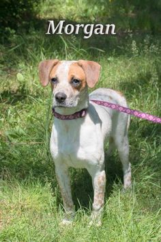 Morgan is an adoptable Beagle searching for a forever family near New Castle, DE. Use Petfinder to find adoptable pets in your area.