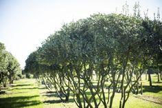 Osmanthus heterophyllus multistandard