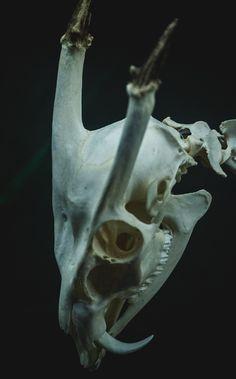 51 melhores imagens de animal skulls animal anatomy. Black Bedroom Furniture Sets. Home Design Ideas