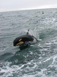 Look, a new follower! :o) Killer Whale (Orcinus orca)